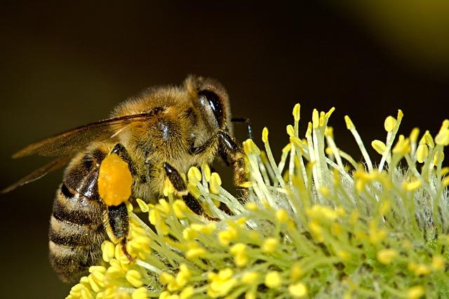 CC0 Public Domain; PublicDomainPictures; http://pixabay.com/en/bees-pollination-insect-macro-work-18192/
