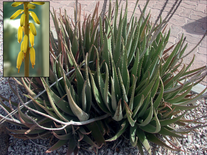 http://upload.wikimedia.org/wikipedia/commons/4/4b/Aloe_vera_flower_inset.png By Collage by en:User:MidgleyDJ, original images from Wikimedia commons (Image:Aloe_vera_offsets.jpg and Image:Aloe_vera_C.jpg).MidgleyDJ at en.wikipedia [CC-BY-SA-3.0 (http://creativecommons.org/licenses/by-sa/3.0)], from Wikimedia Commons