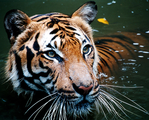 http://upload.wikimedia.org/wikipedia/commons/a/a4/Tiger_in_the_water.jpg By B_cool from SIN, Singapore (originally posted to Flickr as Tiger in the water) [CC-BY-2.0 (http://creativecommons.org/licenses/by/2.0)], via Wikimedia Commons