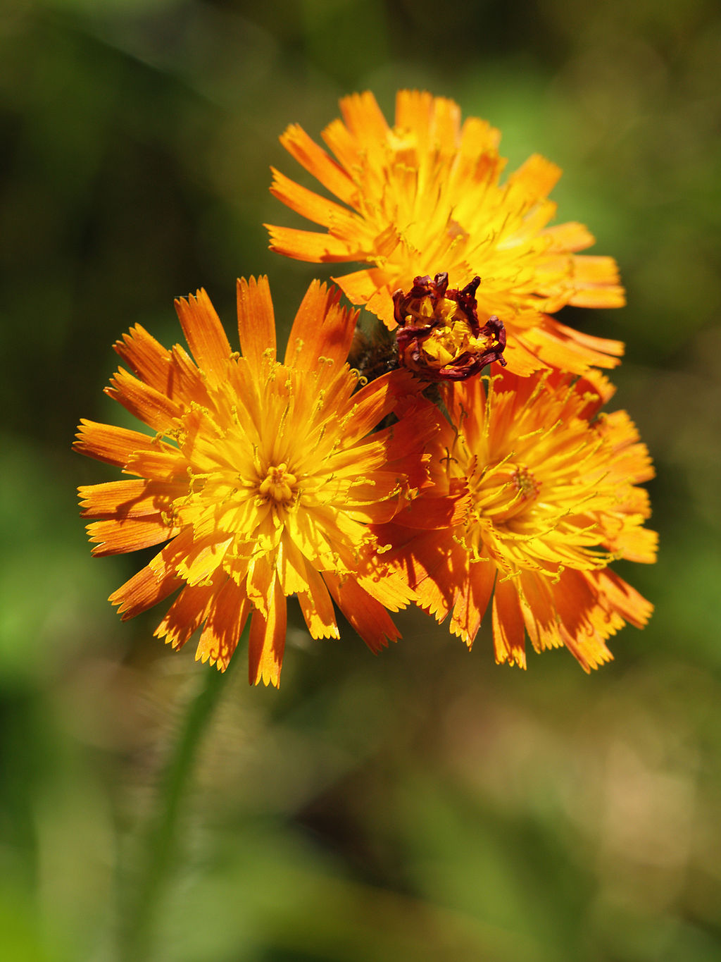 https://commons.wikimedia.org/wiki/File%3AHieracium_aurantiacum_LC0106.jpg